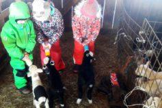 Na blízké farmě - Krmení mláďat mláďaty...